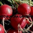 50 Radish Cherry Belle Organic Seeds Early Vegetable