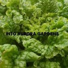 100 Black Seeded Simpson Green Lettuce Heirloom Seeds