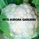 100 White Cauliflower Snowball Organic Heirloom Seeds