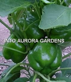 50 California Wonder Organic Sweet Bell Pepper Seeds