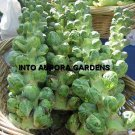 100 Brussel Sprout Sprouts Seeds Vegetable Catskill