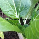 100 Pak Choi Seeds Vegetable Chinese Cabbage Bok Choy