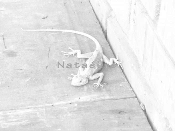Ghanaian Gecko 11x14