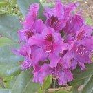 Azurro Rhododendron