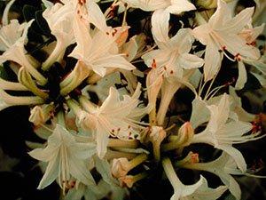 Snowbird Azalea