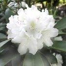 Boule De Neige Rhododendron