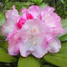 Rhododendron Dorothy Swift