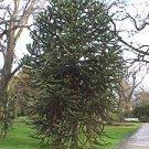 Monkey Puzzle tree (Araucaria Araucana)