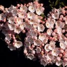 Baystate Mountain Laurel