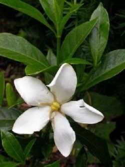 Gardenia Shooting Star