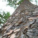 Ponderosa Pine Tree Photograph