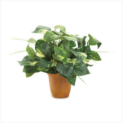 Potted Green Ivy