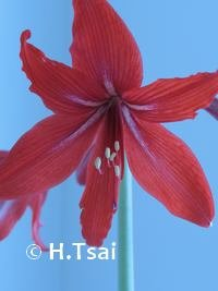 "Red Amaryllis 3.5 x 5"" Photo Card"