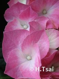 "Pink Hydrangea 3.5 x 5"" Photo Card"