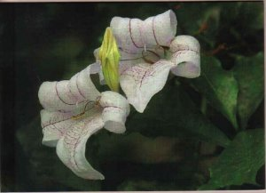 Lovely White Lily Greeting Card