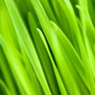 Wheatgrass Wheat Grass ORGANIC Raw Superfood 1 LB