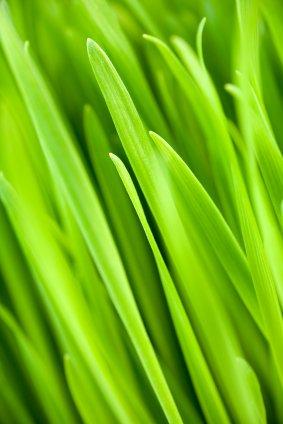 Wheatgrass Wheat Grass ORGANIC Raw Superfood 1 LB