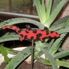 Lizard  Wood Plant Poke red