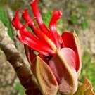 Rare Mexican Devil's Hand Tree Chiranthodendron pentadactylon - 4 Seeds