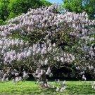 Empress Princess Royal Paulownia Worlds Fastest Growing Tree - 200 Seeds