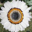 Rare Zulu Prince Daisy Africa Venidium fastuosum - 50 Seeds