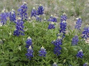Texas Bluebonnet Lupinus Texensis Flower - 50 Seeds