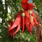 Red Lobster Claw Kowai Ngutu Kaka Beak Clianthus puniceus Rosea - 5 Seeds