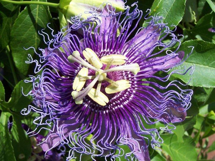 Passion Flower Purple Maypop Passiflora Incarnata - 10 Seeds