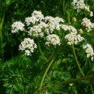 Organic Herb Spice Cumin Caraway Cuminum Cyminum Seeds - 100 seeds