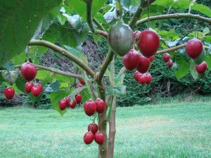 Cyphomandra Betaceae Rare Tree Tomato Tamarillo Tomarillo - 10 Seeds