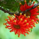Rare Firewheel Tree Stenocarpus Sinuatus - 10 Seeds