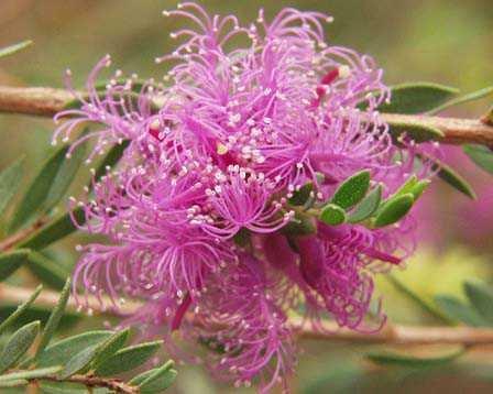 Feather Honey Thyme Myrtle Melaleuca thymifolia - 50 Seeds