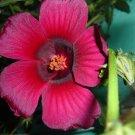October Rose Hibiscus radiatus Rare - 12 Seeds