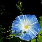 Blue Morning Glory Ipomoea Flying Saucer 5 Inch - 20 Seed