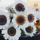 African Namaqualand Zulu Prince Daisy Venidium - 50 Seeds