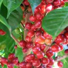 Costa Rica Coffee Plant Raw Seeds Coffea Arabica Tarrazu - 25 Fresh Seeds