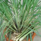 Lemongrass Cymbopogon citratus flexuosus - 50 Seeds