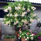 """Frosty Pink"" Brugmansia Angel Trumpet Fragrant - 5 Fresh Cuttings"