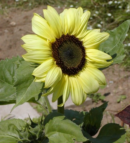 Lemon Queen Sunflower Helianthus annuus - 50 Seeds