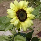 Lemon Queen Sunflower Helianthus - 50 Seeds