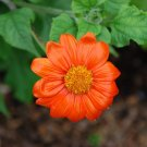 Red Mexican Sunflower Tithonia rotundiflora - 100 Seeds