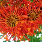 Stenocarpus Sinuatus Rare Firewheel  - 5 Seeds