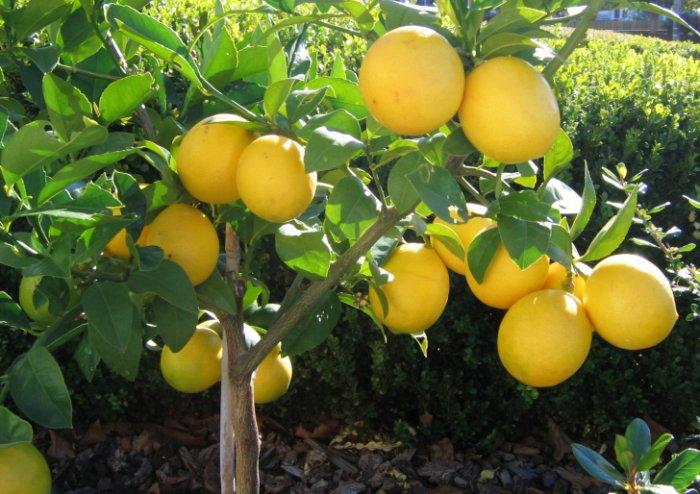 Meyer Lemon Citrus x Meyeri Large Fruited - 5 Seeds