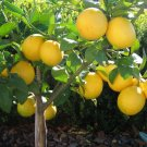 Meyer Lemon Citrus x Meyeri Large Fruited - 5 Seeds