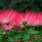 Japanese Pink Mimosa Nemunoki Silk Tree - 10 Seeds
