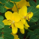 Rare Butterfly Cassia Senna Bicapsularis - 15 Seeds