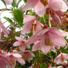 Rare Japanese Snowdrop Styrax japonicus Pink Chimes - 10 Seeds