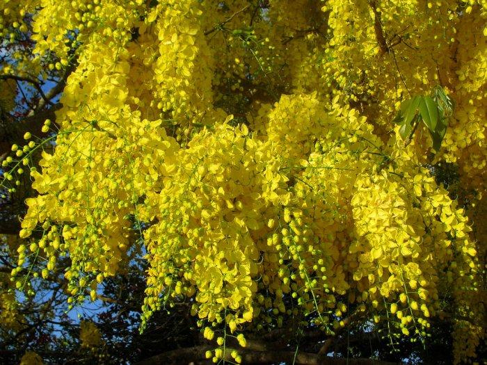 Golden Chain Tree Cassia fistula - 15 Seeds