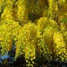 Golden Chain Tree Cassia fistula - 8 Seeds