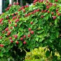Chinese Dogwood Cornus Kousa chinensis  - 20 Seeds